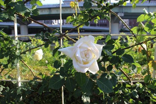 nakanoshima-baragarden21