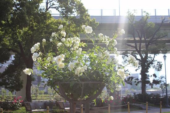 nakanoshima-baragarden35