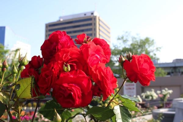 IMG_7884nakanoshima park rose