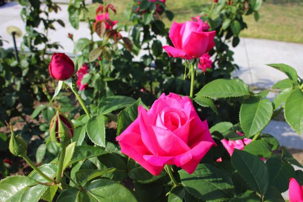IMG_7888nakanoshima park rose
