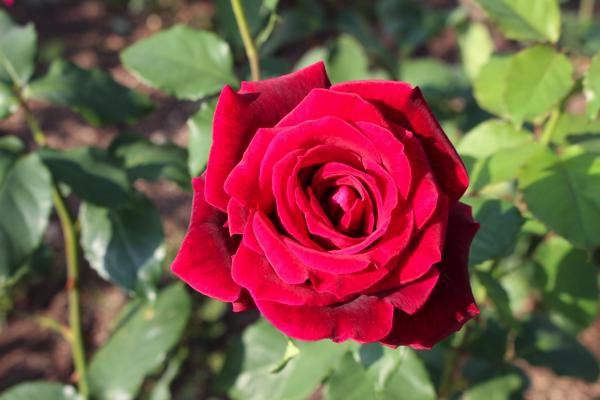 IMG_7889nakanoshima park rose