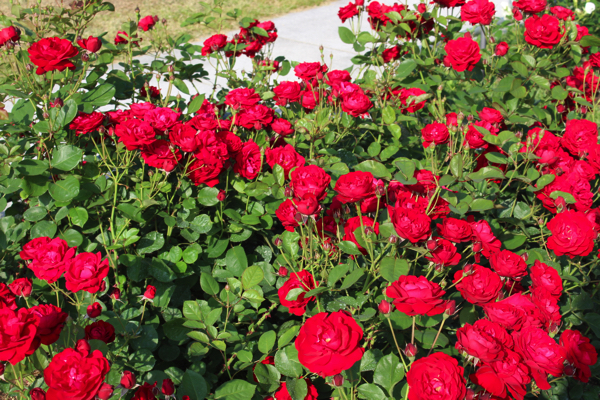 IMG_7890nakanoshima park rose