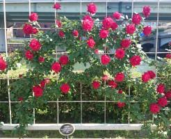 nakanoshima park rose7