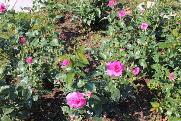 nakanoshima rose park6