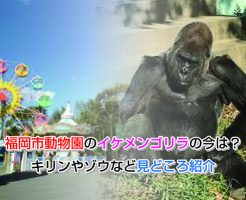 gorilla Eye-catching image