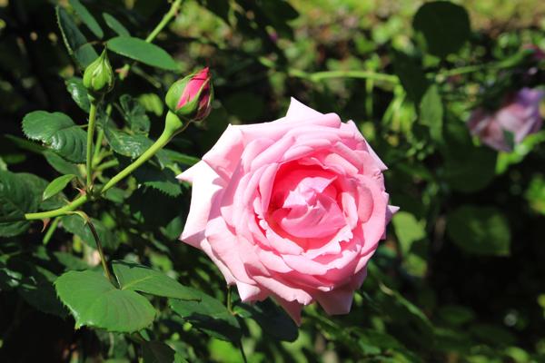 nakanoshima_rose_park051