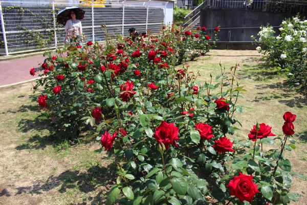 nakanoshima_rose_park054