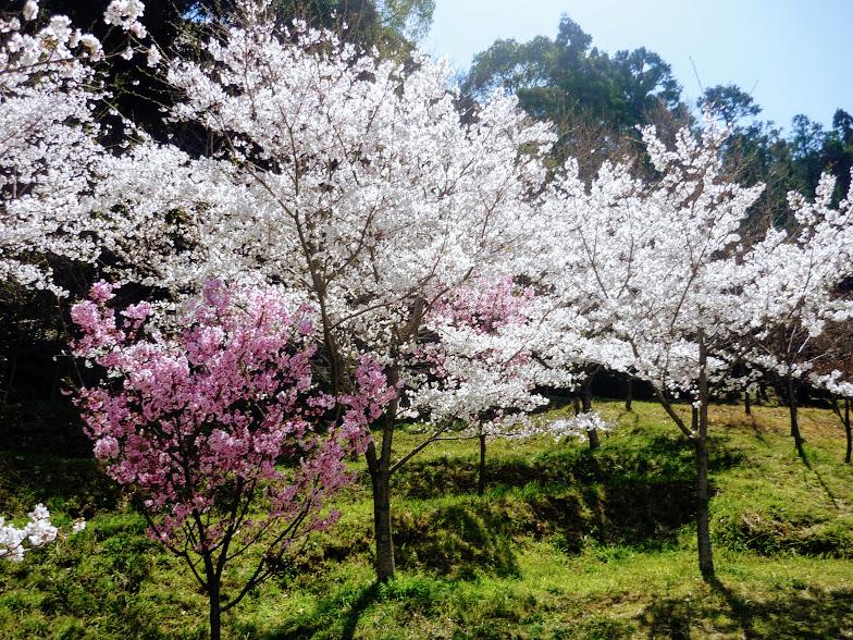 カブトの森公園の桜