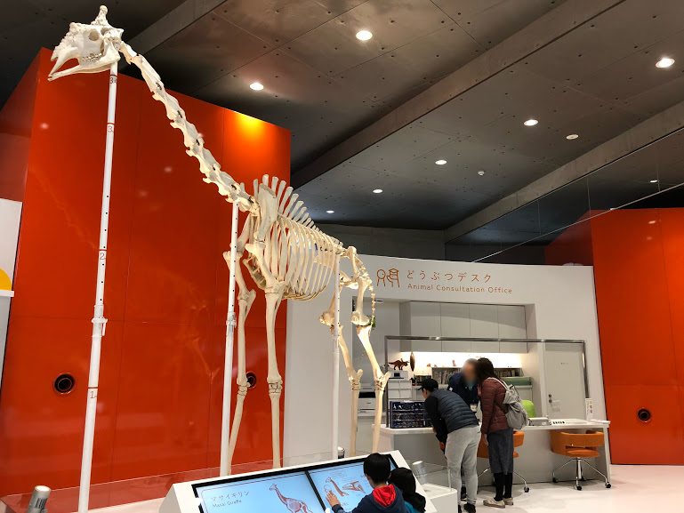 福岡市動植物園のキリン骨格標本